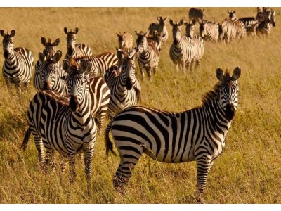 東非肯亞曠野豪情之旅 9天 2020
