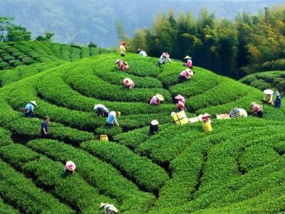 千島湖、坪林自然美景茶飄香觀光